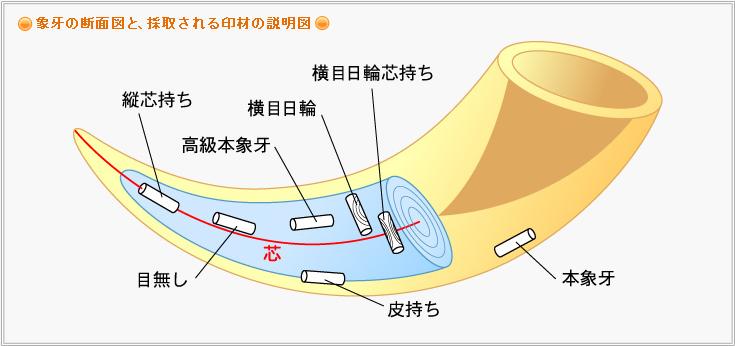 象牙の断面図と、採取される印材の説明図